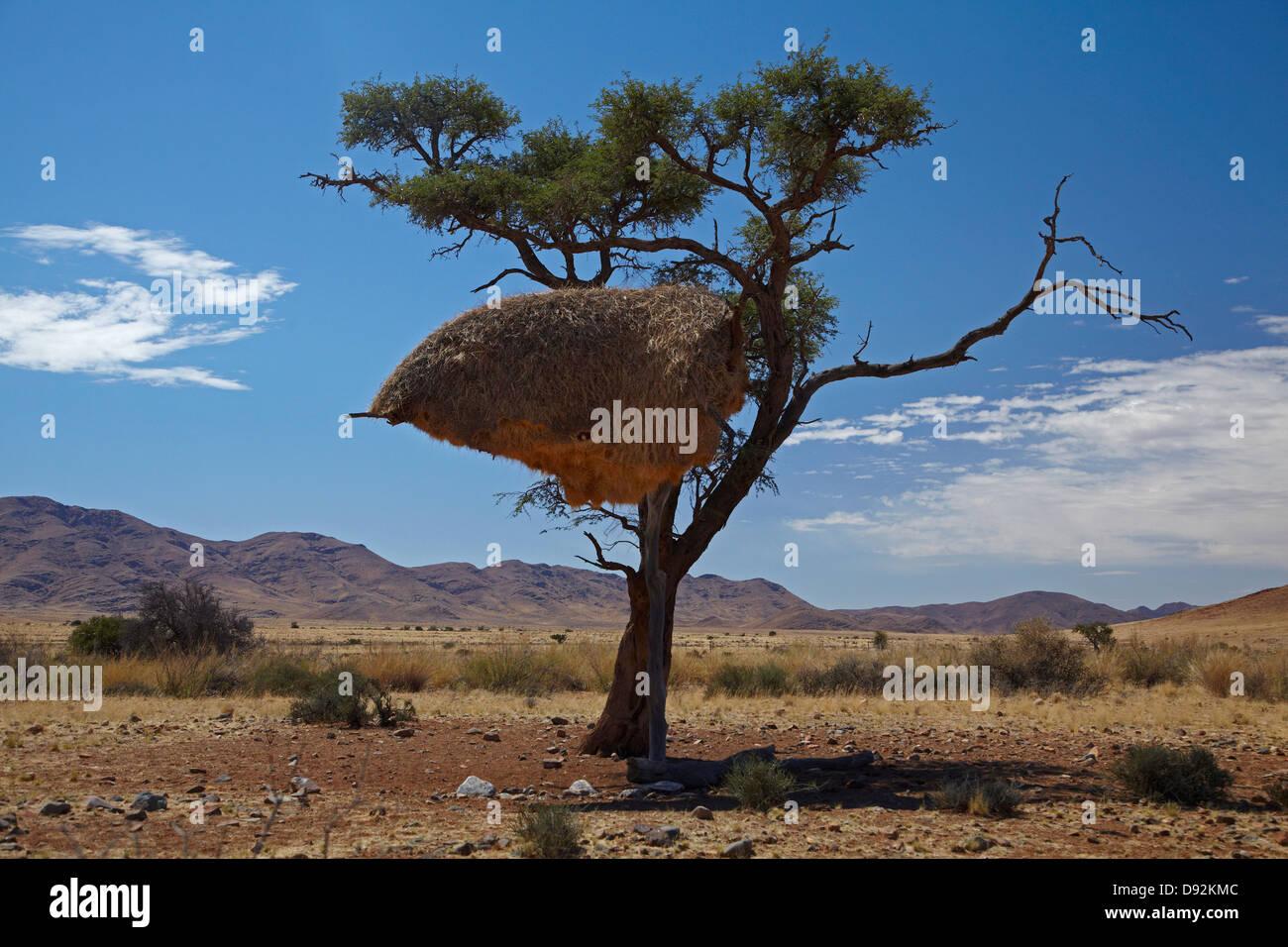 Tisserands sociable nid, Désert du Namib, Namibie, Afrique du Sud Photo Stock