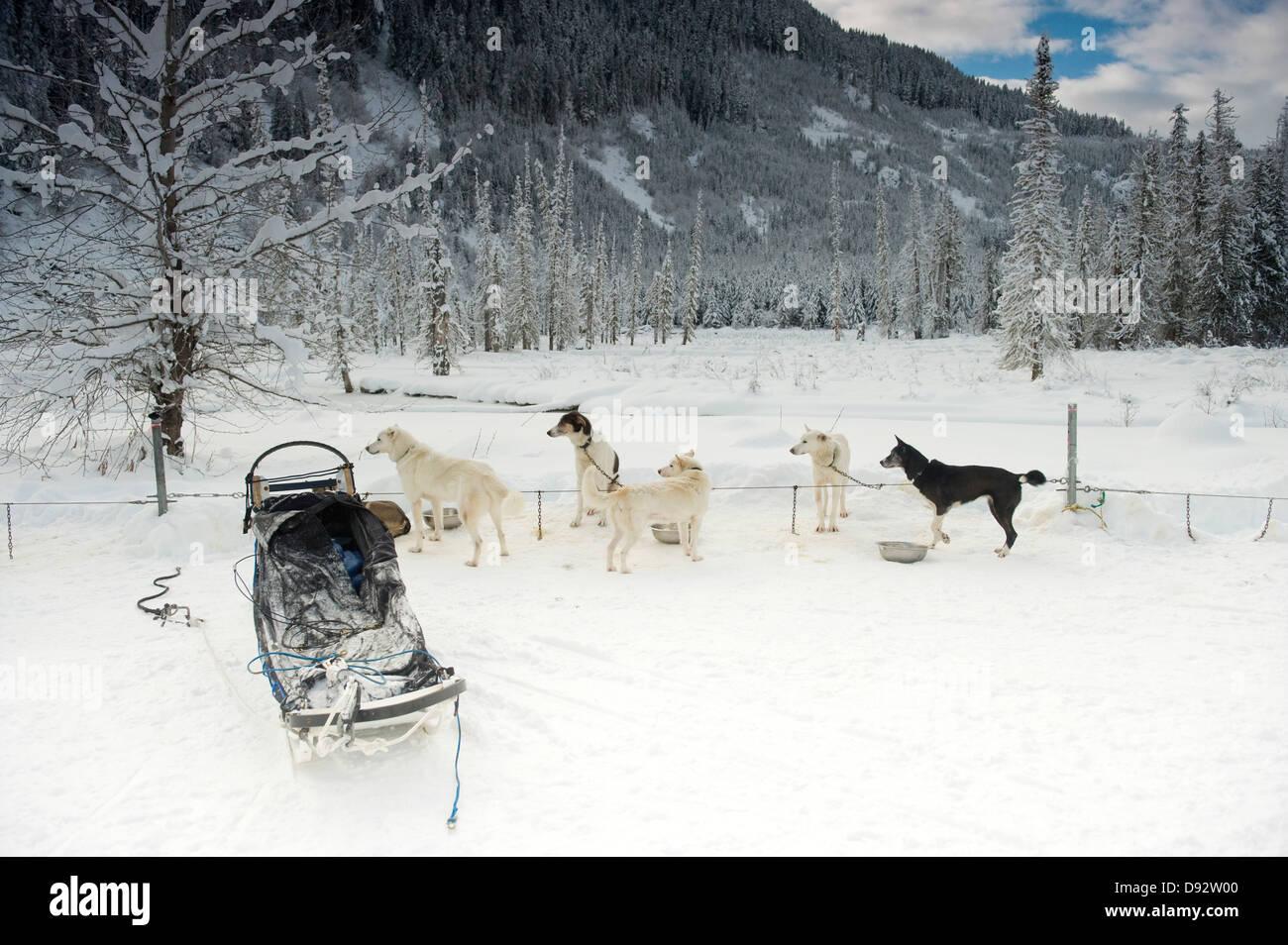 Tous les chiens de traîneau et de repos à la recherche de quelque chose en dehors du cadre Banque D'Images
