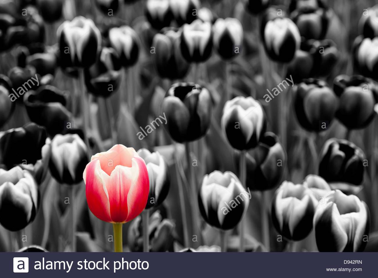 Fleur de tulipe couleur monochrome sur Photo Stock