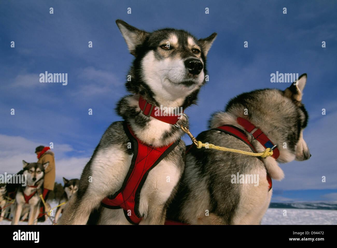 Projet de chiens, la Suède. Banque D'Images