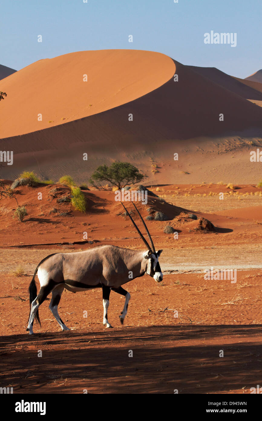 Gemsbok (Oryx), et des dunes de sable, Namib-Naukluft National Park, Namibie, Afrique Photo Stock