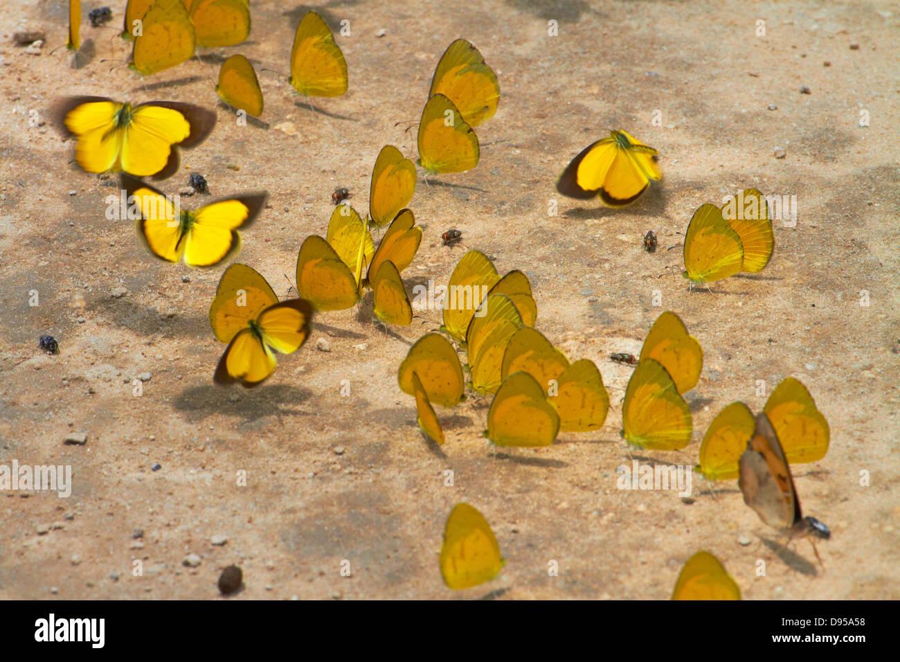 Papillons jaune sur chemin de terre, Botswana, Africa Photo Stock