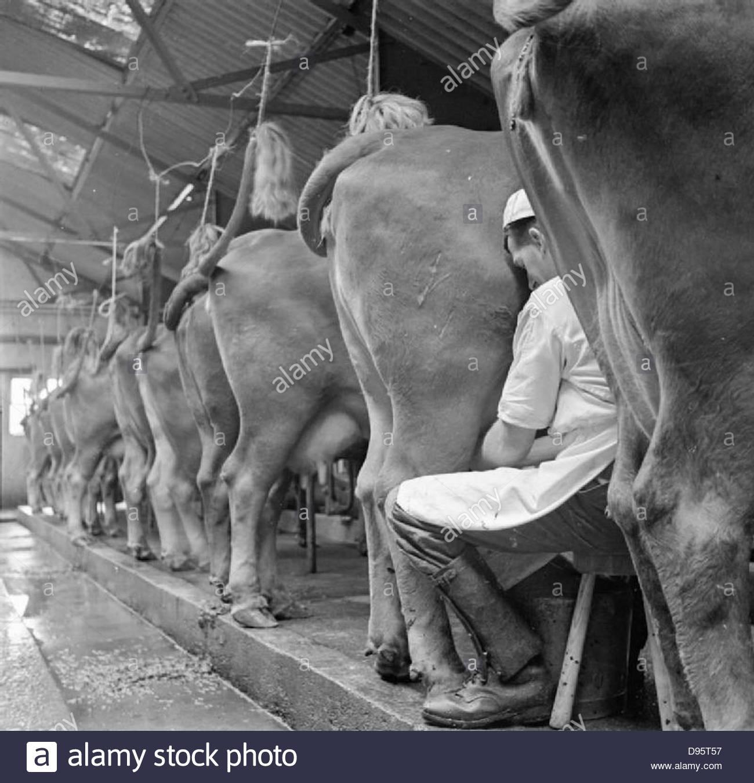 Parsonage Farm- l'élevage laitier dans le Devon, Angleterre, 1942 D10227 Photo Stock