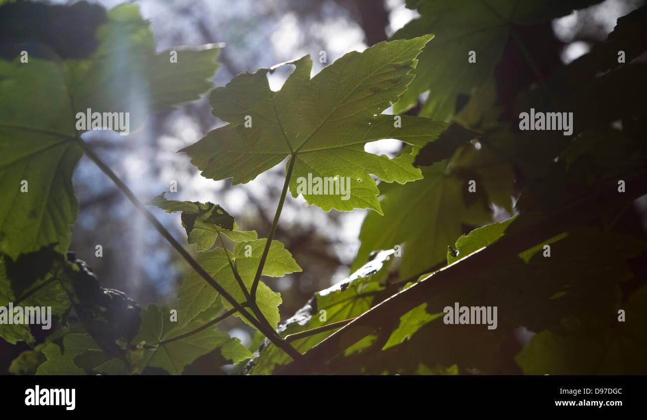 La lumière du soleil qui brillait à travers les jeunes feuilles sycomore illustrant le processus de photosynthèse, Photo Stock
