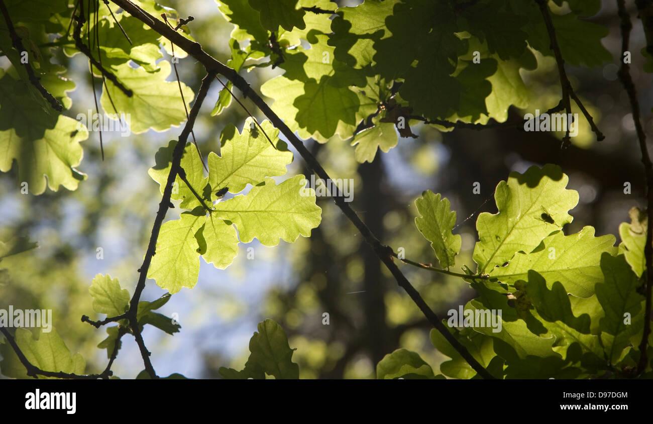 La lumière du soleil qui brillait à travers les jeunes feuilles de chêne illustrant le processus Photo Stock