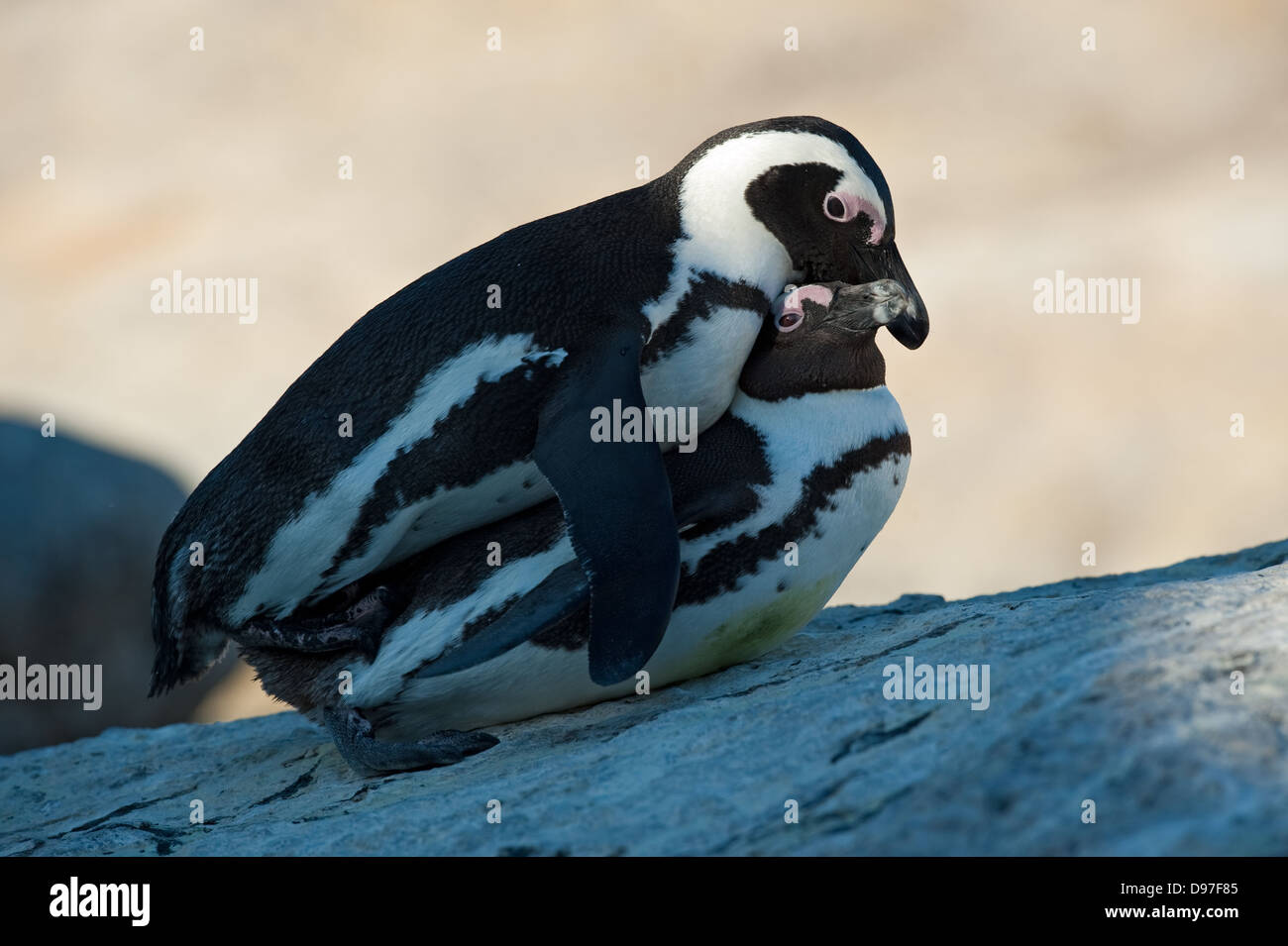 Pingouins africains l'accouplement, Spheniscus demersus, Boulders Beach, péninsule du Cap, Afrique du Sud Photo Stock