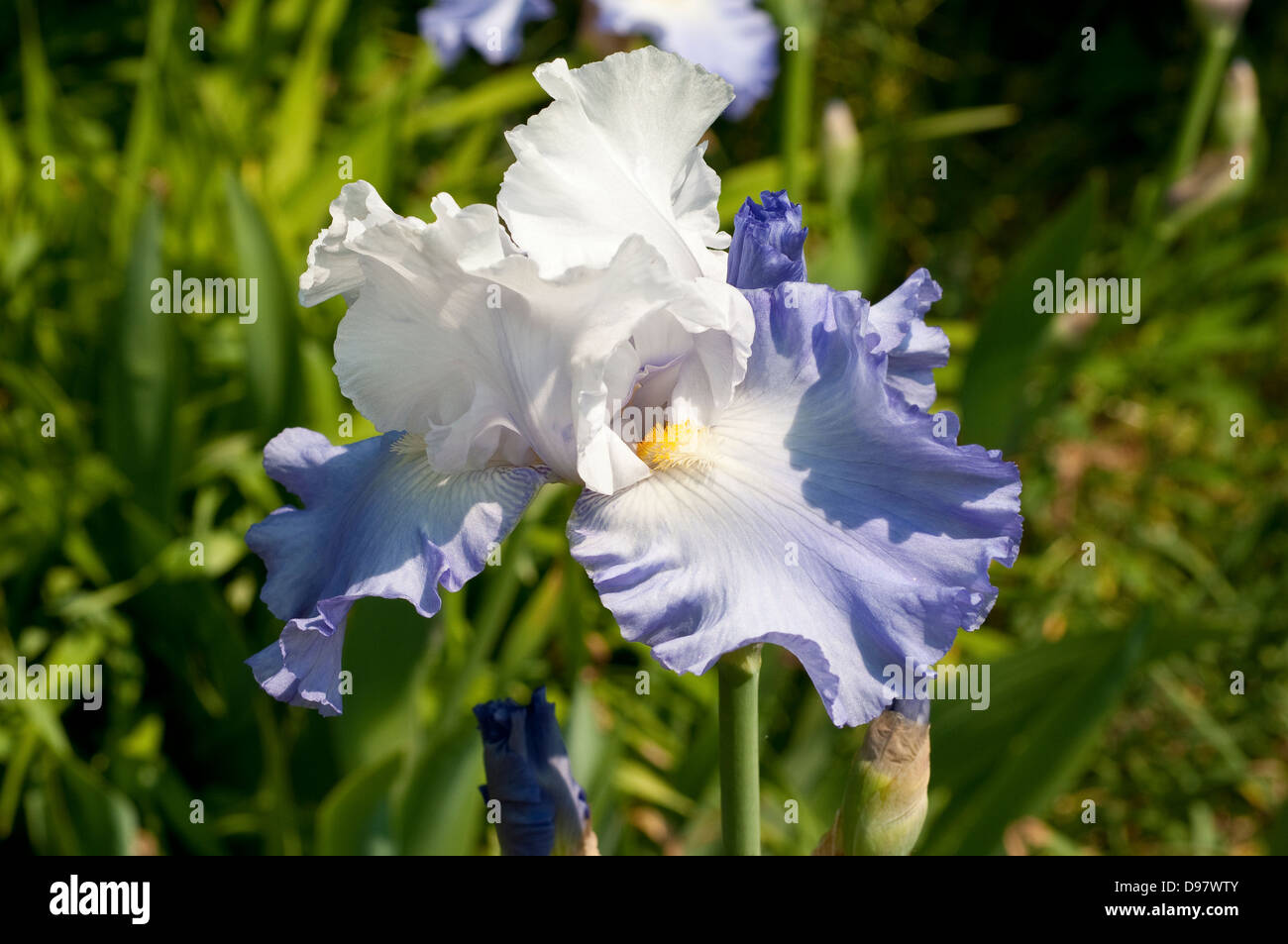 Iris 'Lark Rise' Photo Stock