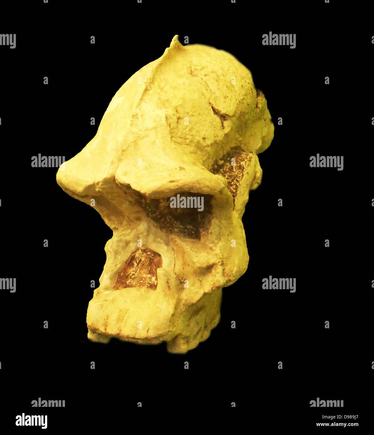 Les australopithécinés robustes Photo Stock