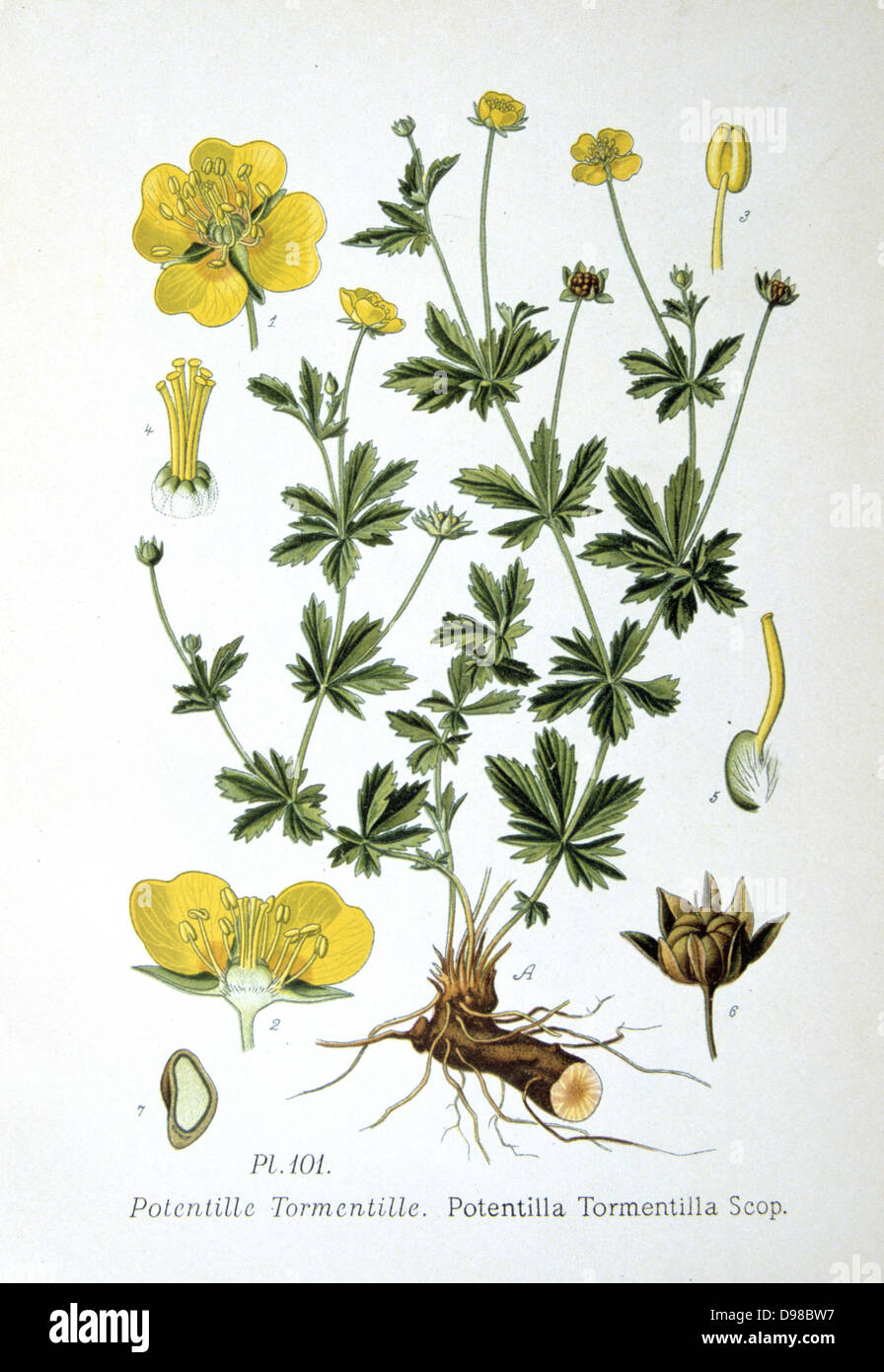 Tormentille (Potentilla tormentilla: P. erecta L.) une mince perrenial. Les racines ont été bouilli Photo Stock
