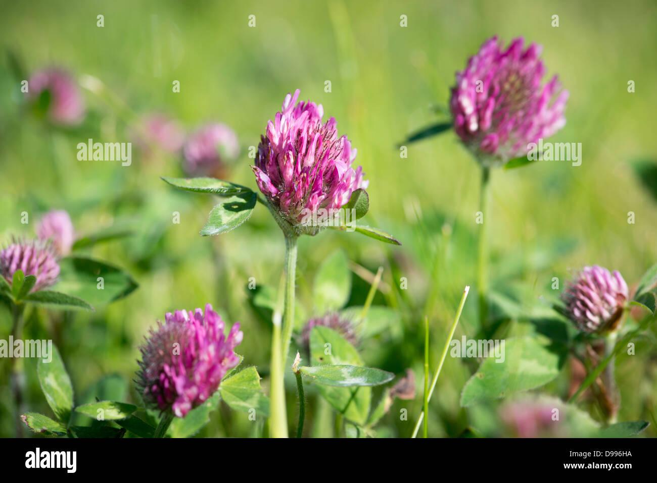 Fleurs De Trefle Rouge Trifolium Pratense Banque D Images Photo
