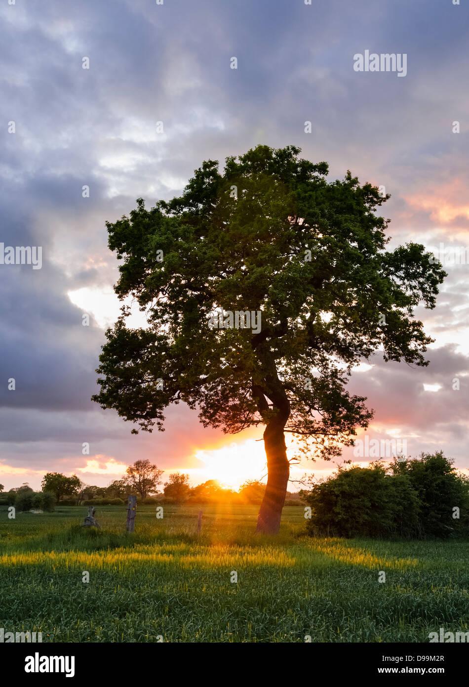 Seul arbre en pays champs, avec coucher de soleil sur l'horizon en arrière-plan Photo Stock