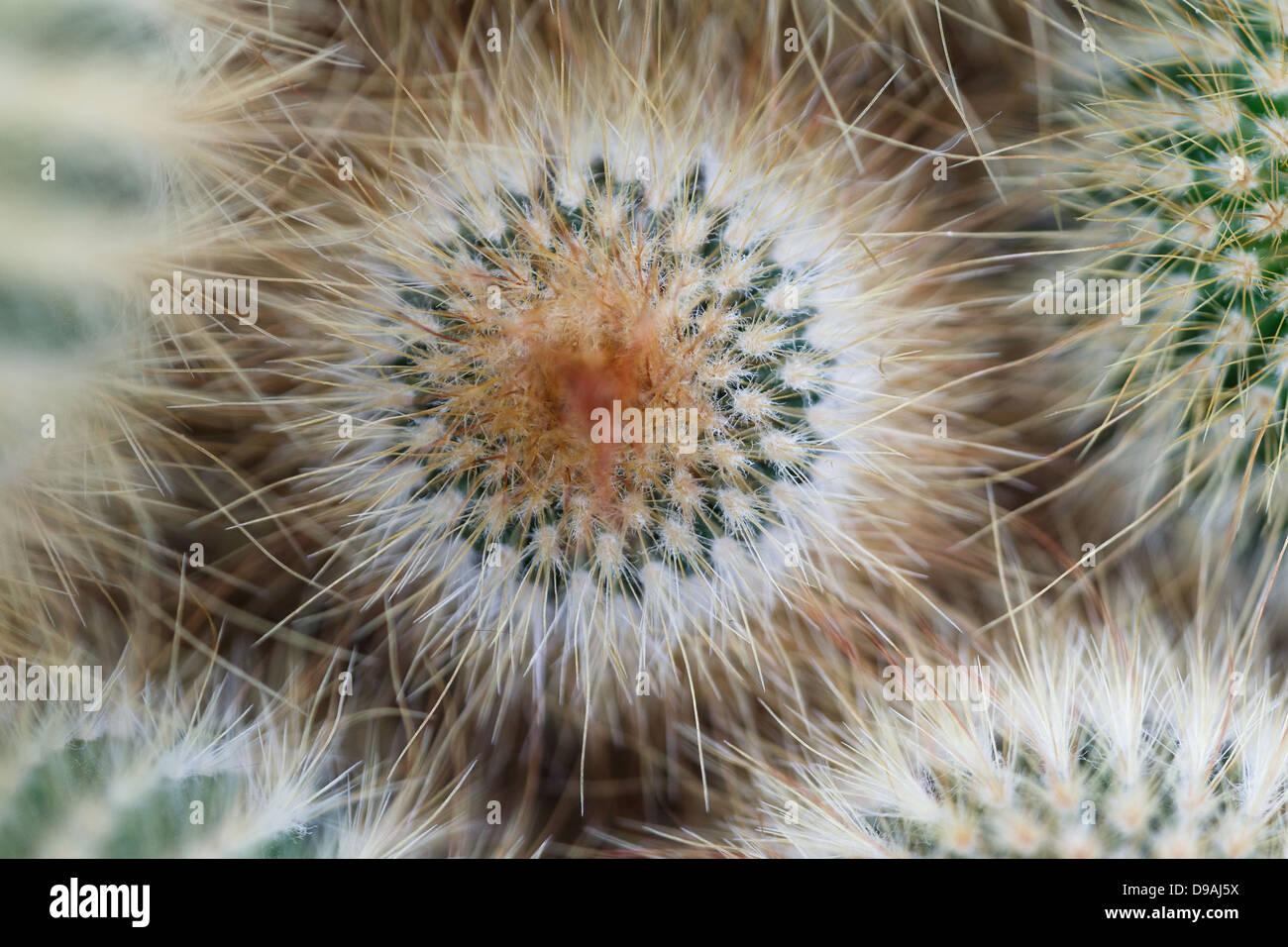 Mammillaria sp cactus montrant la symétrie. Photo Stock