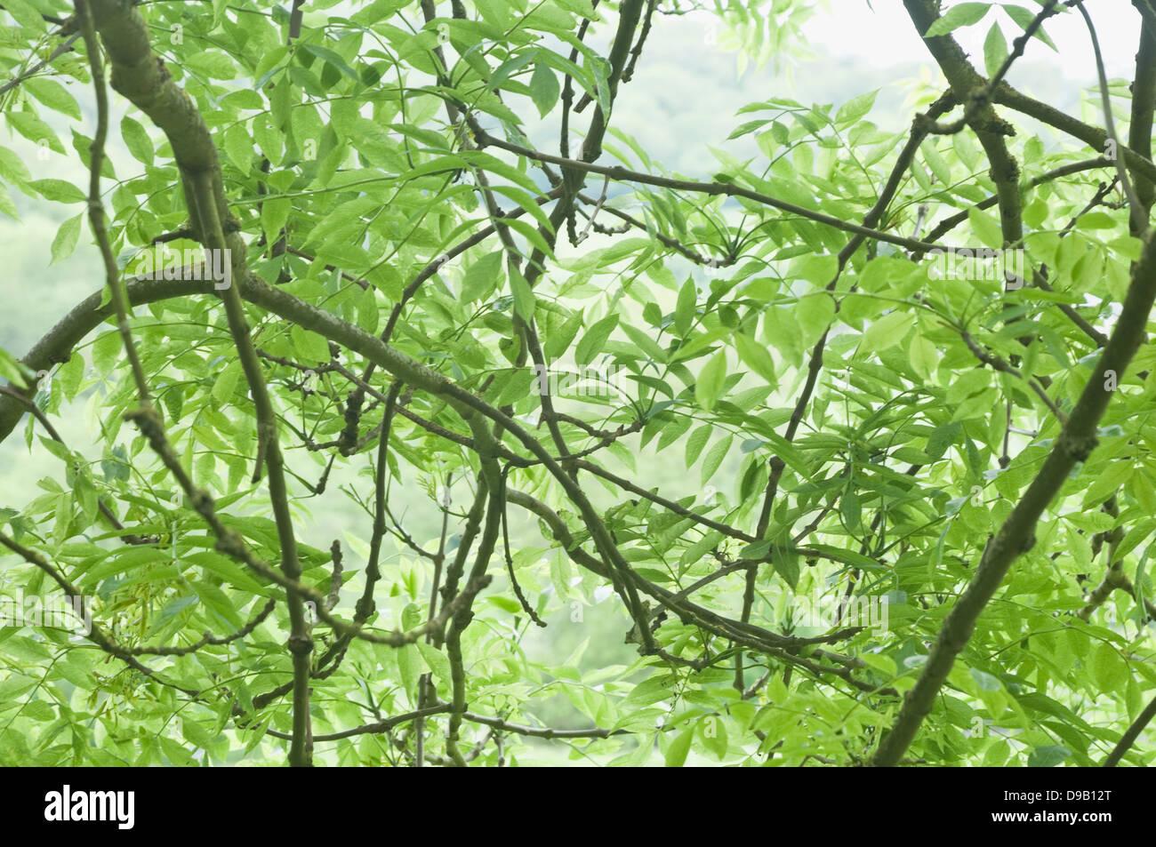 Frêne (Fraxinus excelsior) des feuilles, des brindilles et des branches. Angleterre, Royaume-Uni. Photo Stock