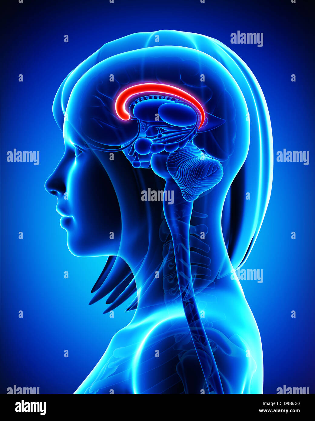 Anatomie du cerveau en coupe- gyrus cingulaire Photo Stock