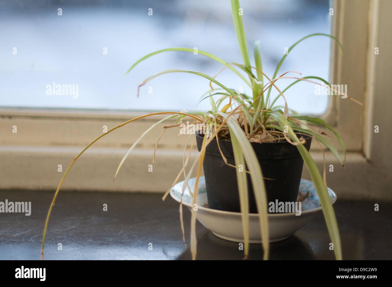 Mourir triste et morne de plantes en pot dans un bureau sur un rebord de fenêtre Photo Stock
