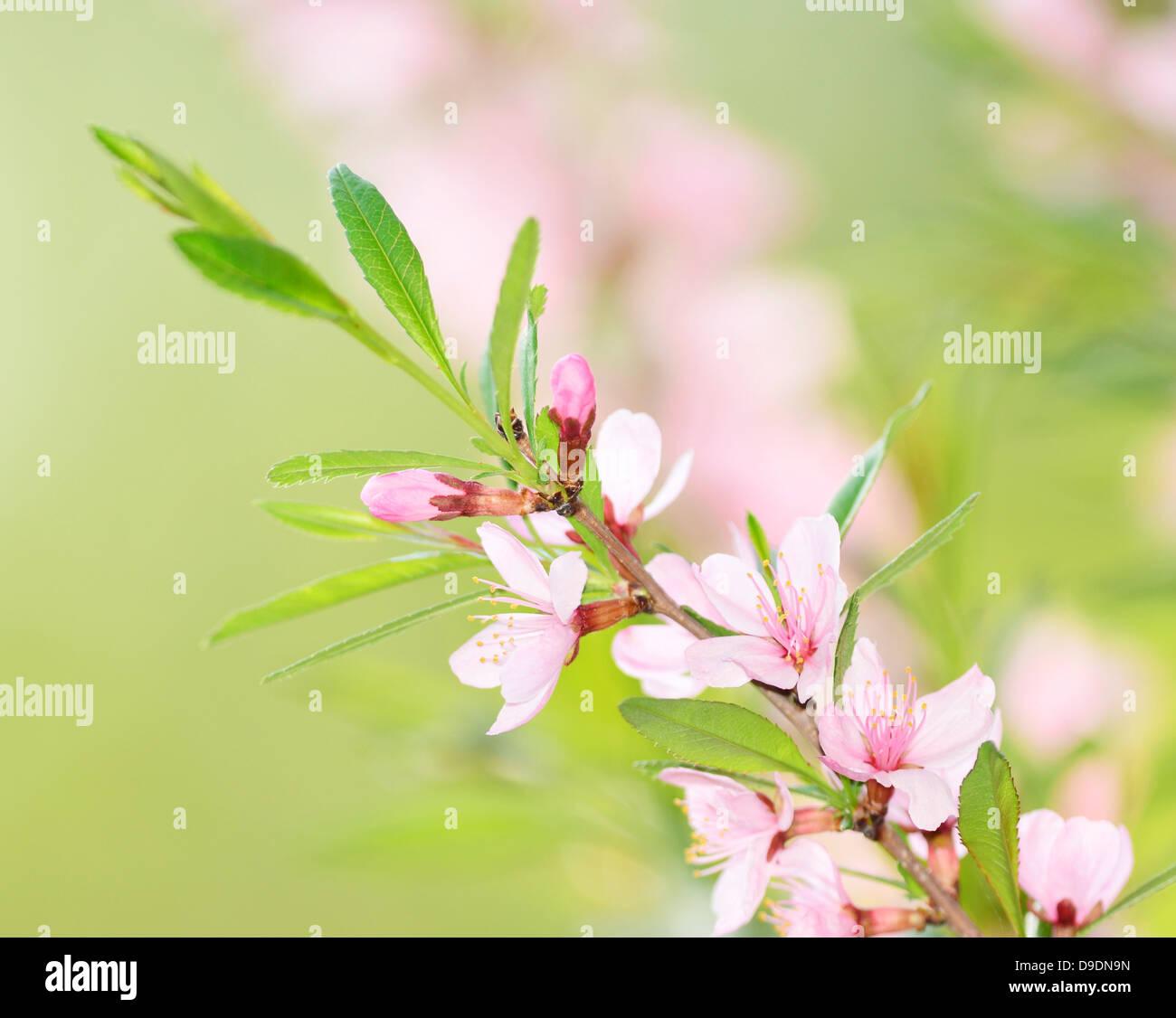 La saison du printemps - Fleurs de cerisier rose Photo Stock