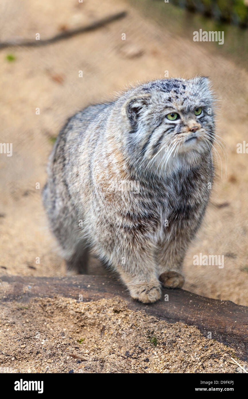 Pallas cat, Otocolobus manu, Cotswold Wildlife Park, Costswolds, Gloucestershire, England, UK Photo Stock