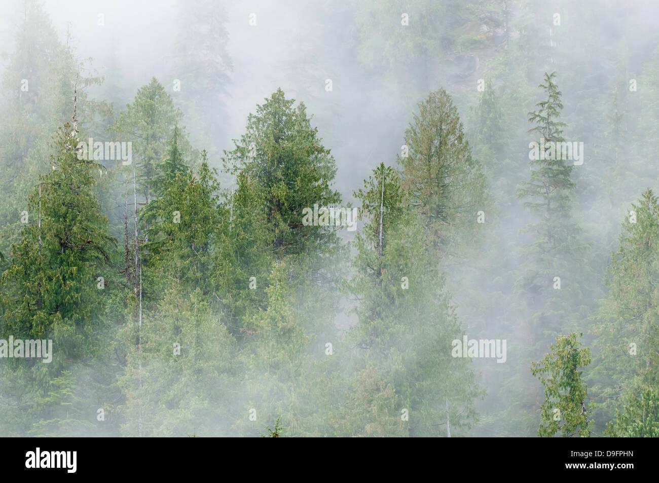 Mist couvertes de pins dans la forêt pluviale de Great Bear, en Colombie-Britannique, Canada Photo Stock