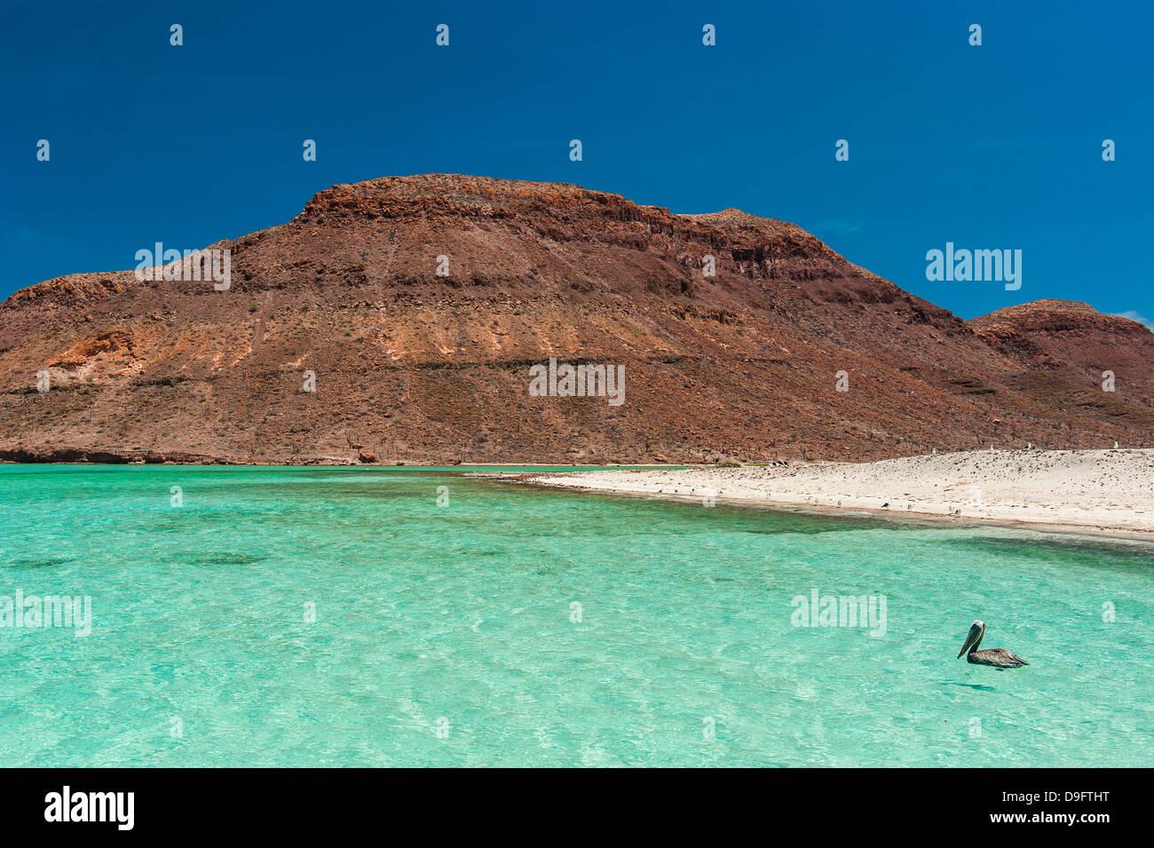 Des pélicans dans les eaux turquoise à Isla Espiritu Santo, Baja California, Mexique Photo Stock