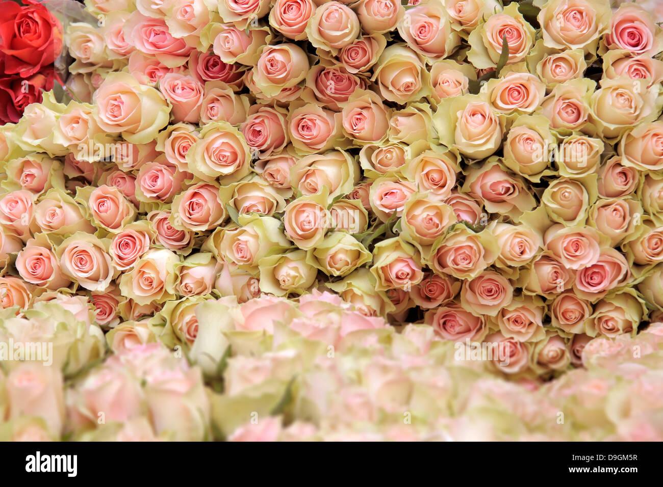 Grand groupe de cut light pink roses dans un magasin de fleur dans le centre de Copenhague, Danemark Photo Stock
