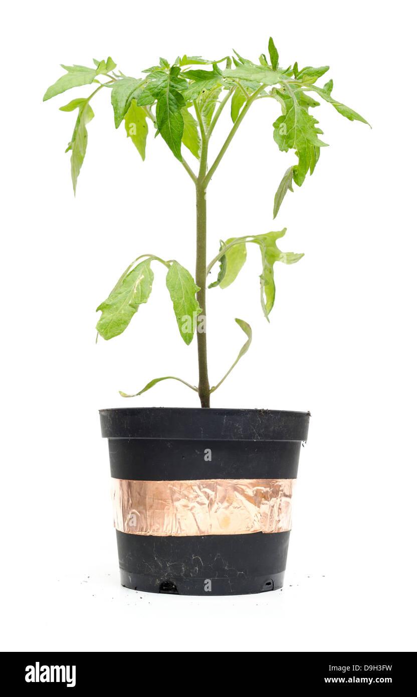 Plant de tomate dans un pot à l'abri des limaces et escargots par 'slug' bande Photo Stock