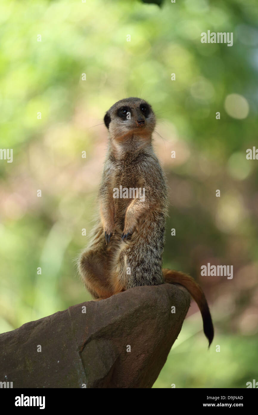 Meerkat sur regarder au zoo de Bristol. Photo Stock