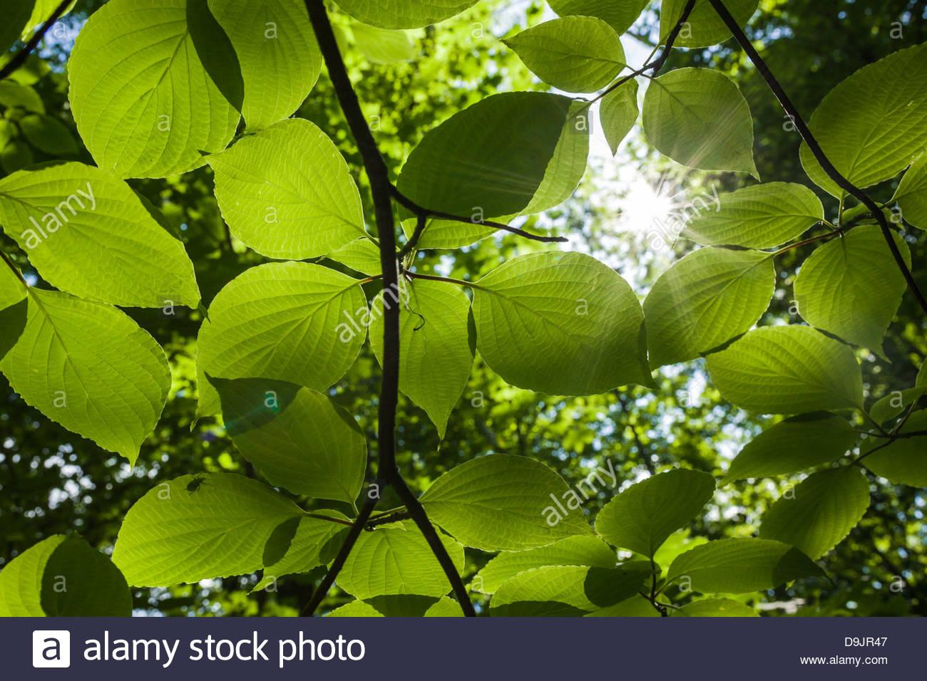 La lumière du soleil et de la chlorophylle dans les feuilles produisent de l'oxygène par photosynthèse Photo Stock