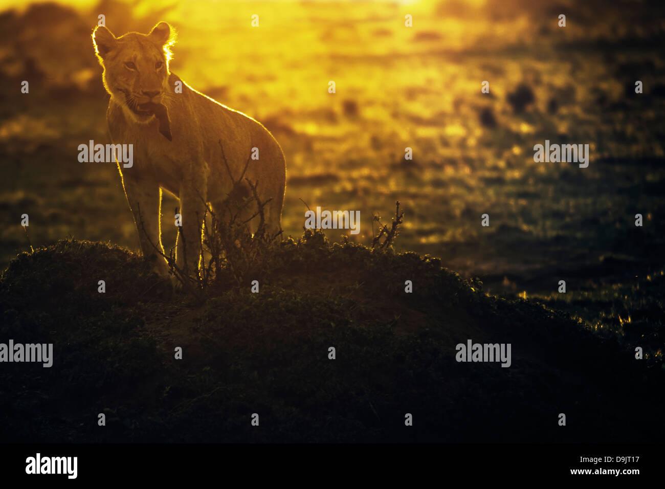 Avec un lion tuer gnous au lever du soleil, Masai Mara, Kenya Photo Stock