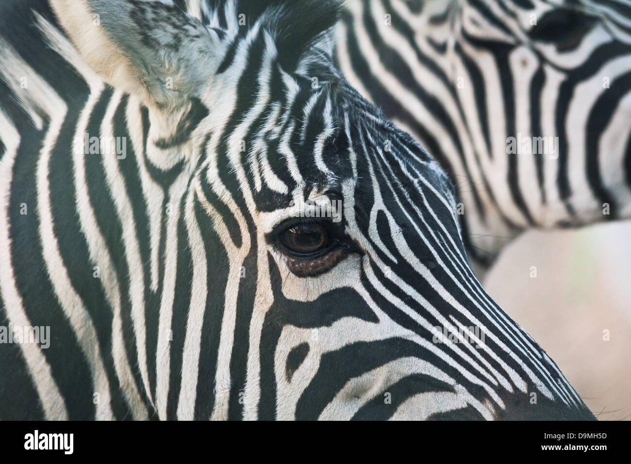 Zebra, portrait, la faune, l'Afrique, rayures, zoo Photo Stock