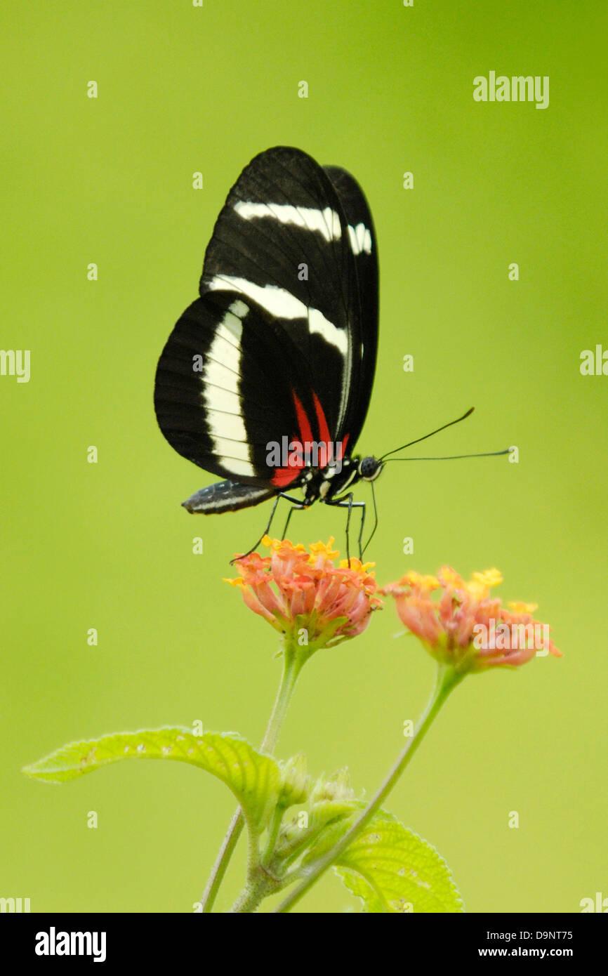 Hewitson's Longwing (Heliconius hewitsoni) à se nourrir dans la forêt tropicale du Costa Rica Photo Stock