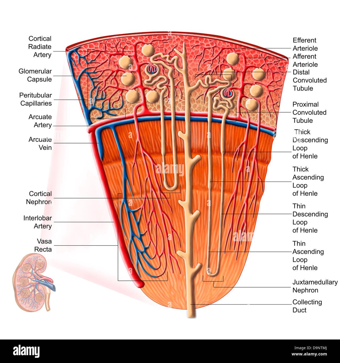 Großzügig Anatomie Des Glomerulus Ideen - Menschliche Anatomie ...