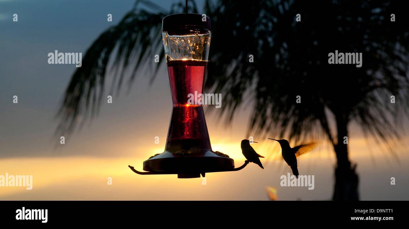 Sunset silhouette de colibris du convoyeur au Photo Stock