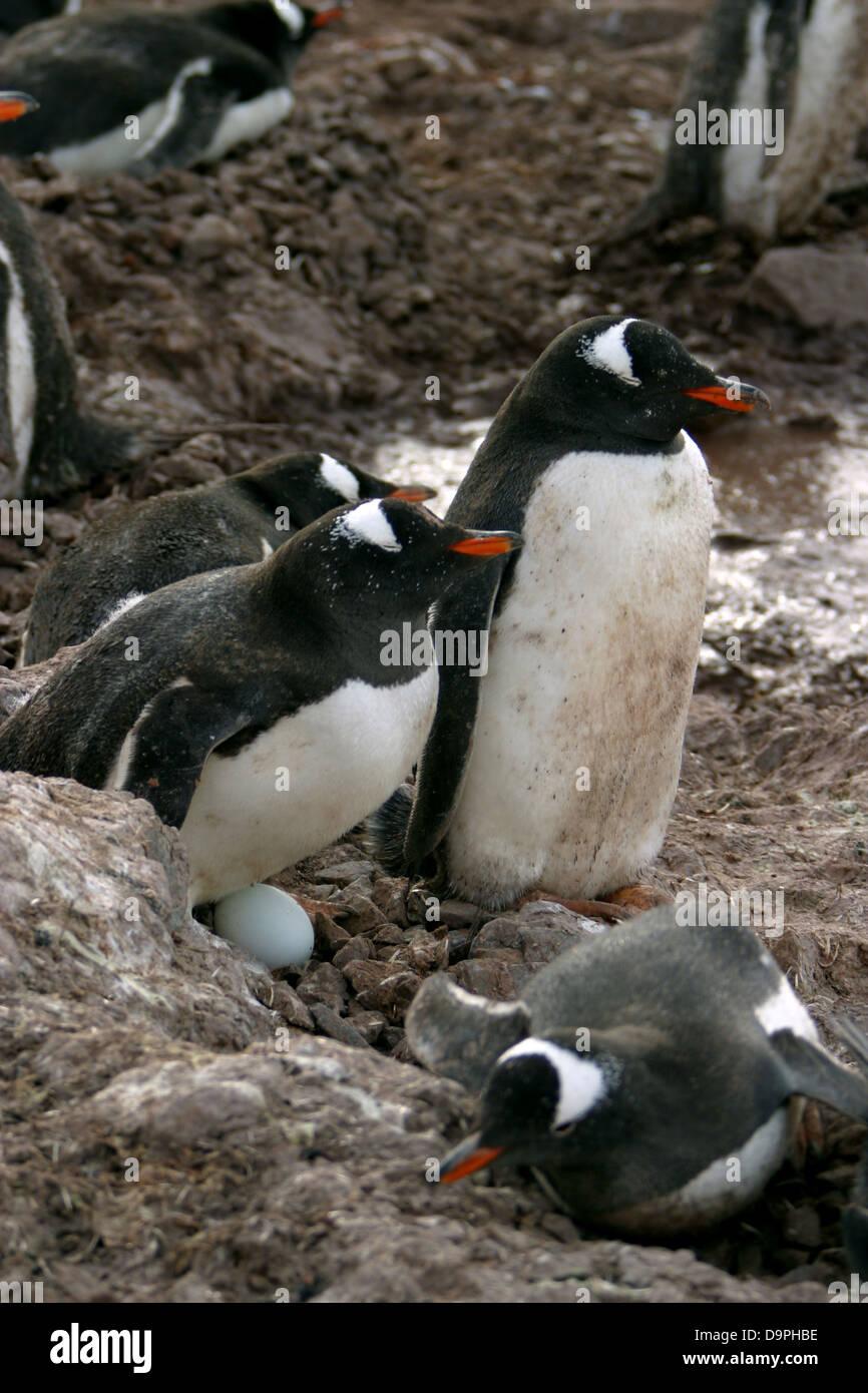 Gentoo pingouin mates Ne laissez jamais sans surveillance, un oeuf, de l'Antarctique l'Île Neko Photo Stock