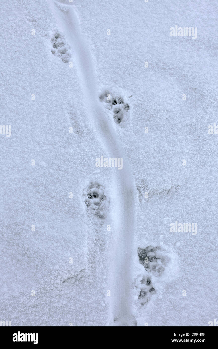 Rivière européenne loutre (Lutra lutra) close up d'empreintes et traces de queue glisser dans la neige Photo Stock