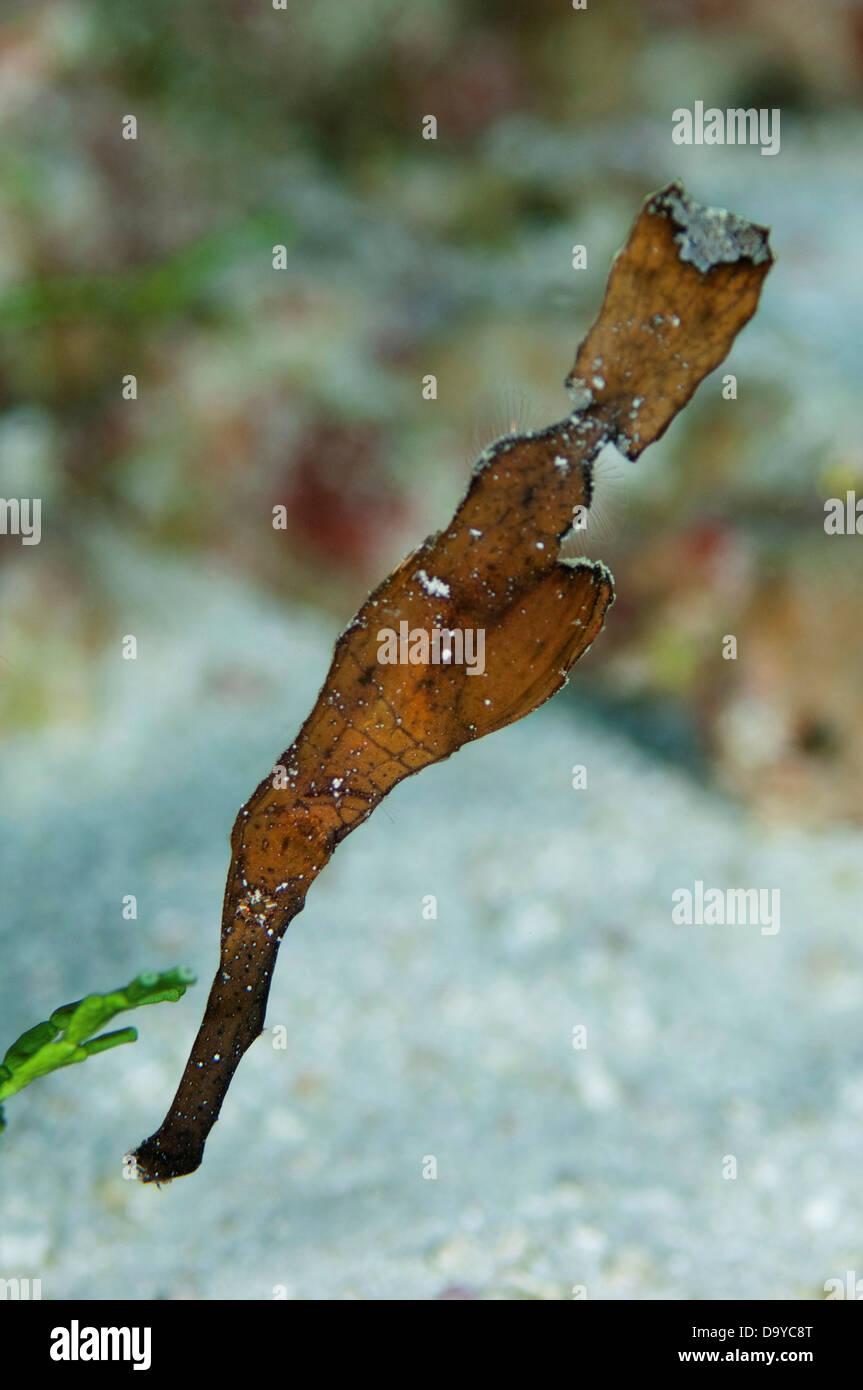 Syngnathe fantôme robuste (Solenostomus cyanopterus) sous l'eau, South Male Atoll, Maldives Photo Stock