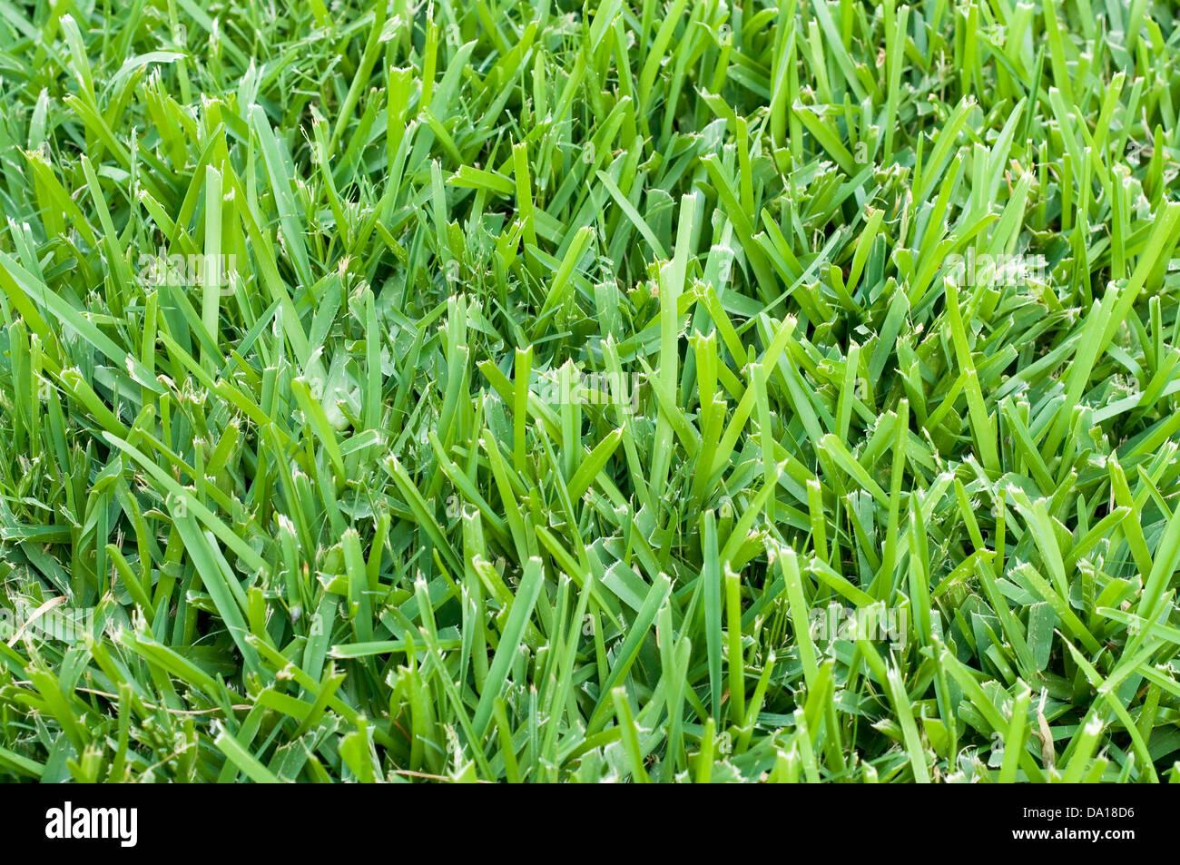 Arrière-plan de saint Augustin l'herbe. Photo Stock