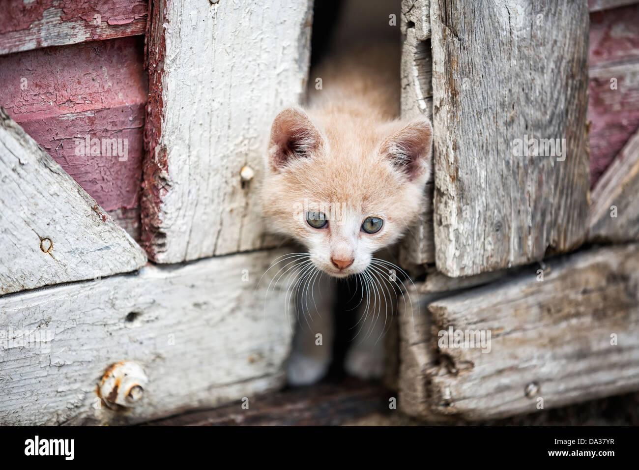 Kitten peeking through portes de grange Photo Stock