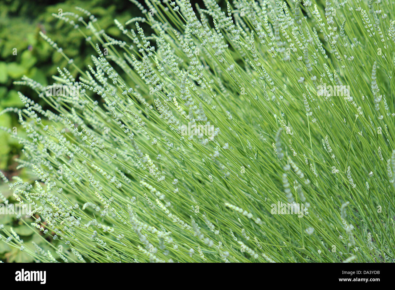 Lavande blanche \u0027Edelweiss\u0027 Lavandula angustifolia fleurs