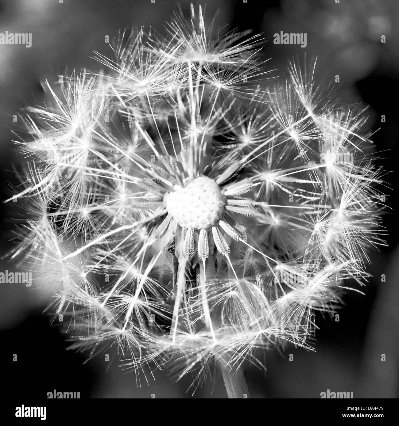 [Seedhead pissenlit Taraxacum officinale] Photo Stock