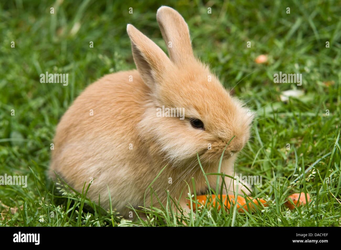Lionhead rabbit (Oryctolagus cuniculus f. domestica), assis sur un pré Banque D'Images