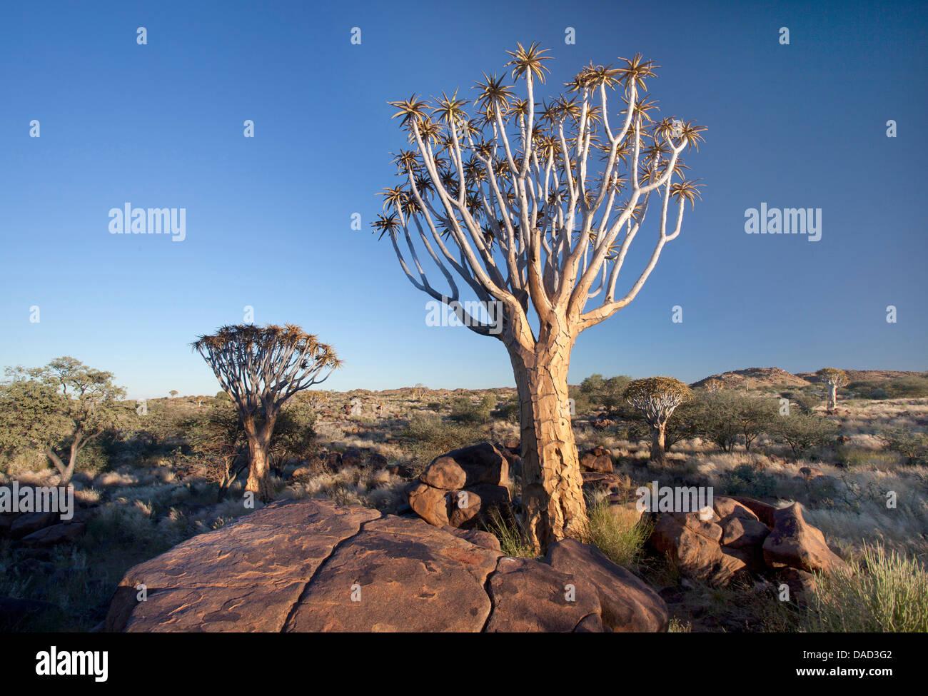 Arbres carquois (Aloe Dichotoma), dénommé Kokerboom, dans la Ferme Gariganus Quivertree Forest sur près Photo Stock