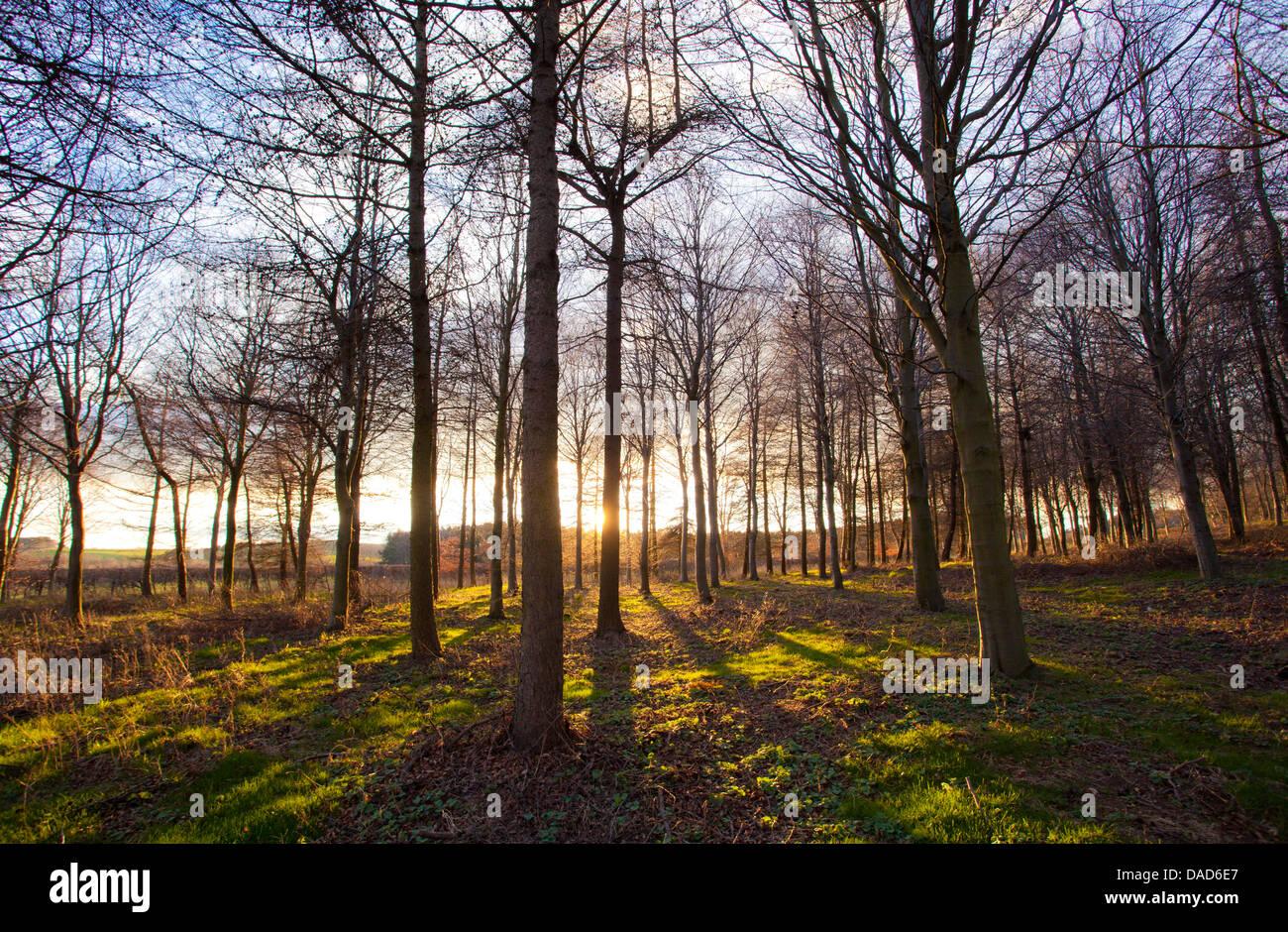 Bois d'hiver par le contre-jour fin d'après-midi, Longhoughton, près de Alnwick, Northumberland, Angleterre, Royaume-Uni, Europe Banque D'Images