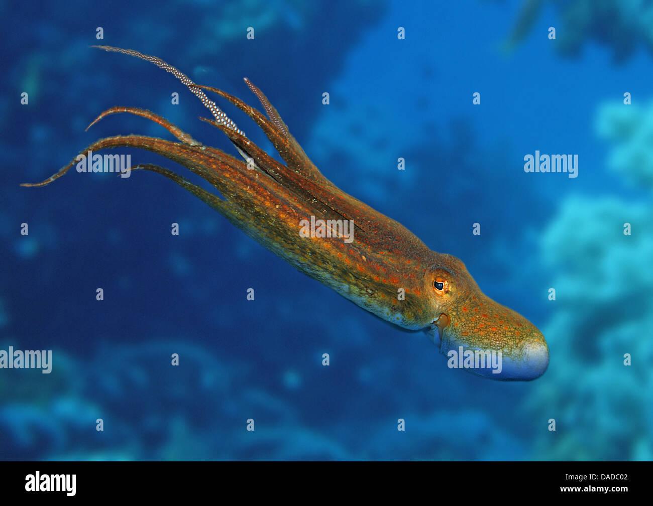 Poulpe commun, Octopus, Atlantique commun européen commun poulpe (Octopus vulgaris), natation Banque D'Images