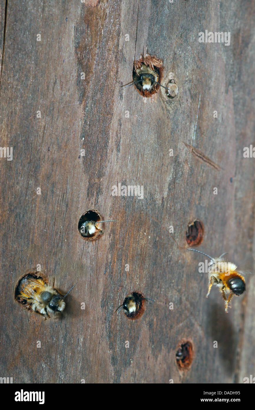 Les abeilles sauvages à un hôtel d'insectes, Allemagne Photo Stock