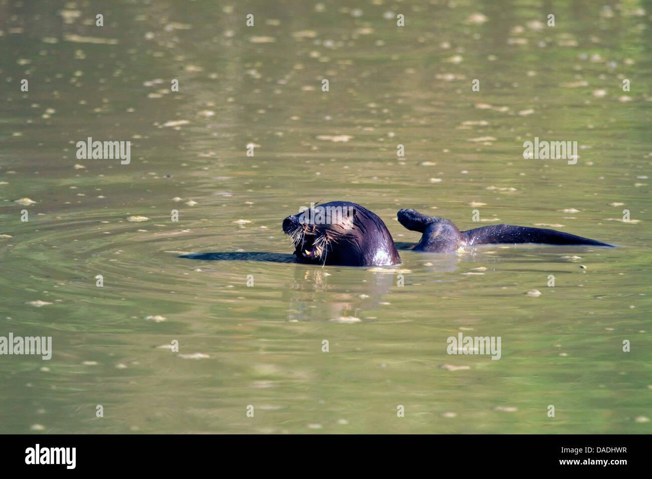 La loutre néotropicale néotropicale, la loutre de rivière (Lontra longicaudis), l'alimentation des poissons dans une piscine boueuse, Brésil, Mato Grosso, Pantanal Banque D'Images