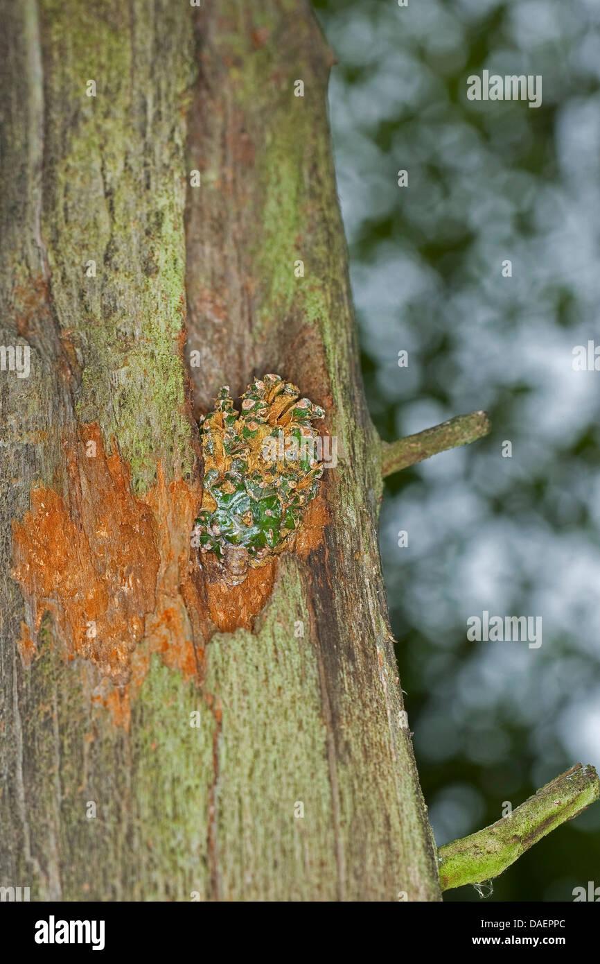 Les sites d'une fissuration à pic un tronc d'arbre, Allemagne Photo Stock