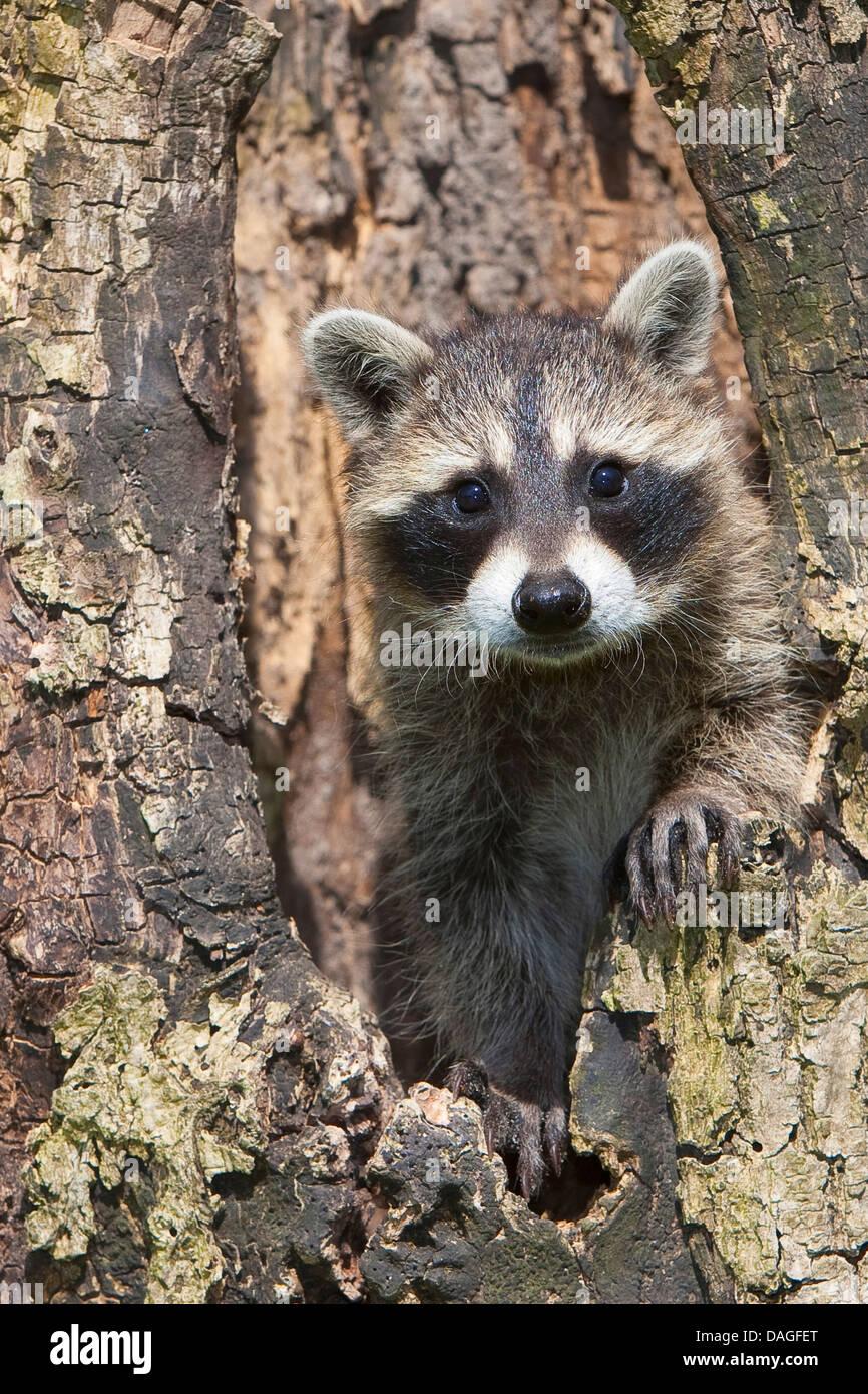 Politique raton laveur (Procyon lotor), deux mois, un chiot dans treehole, Allemagne Photo Stock