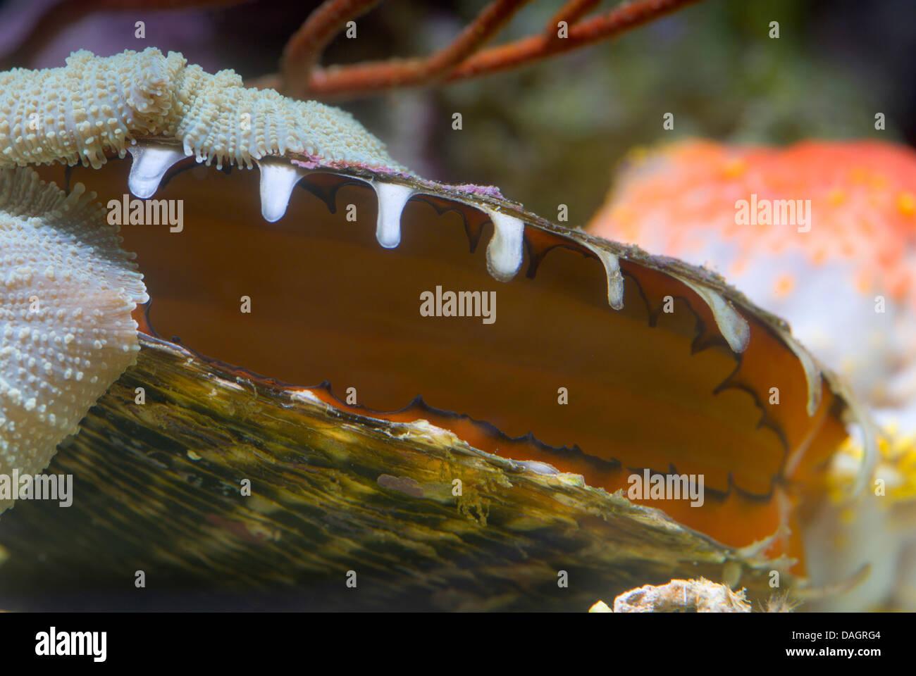 Huître épineuse (Spondylus spec.), avec des coquilles ouvertes Photo Stock
