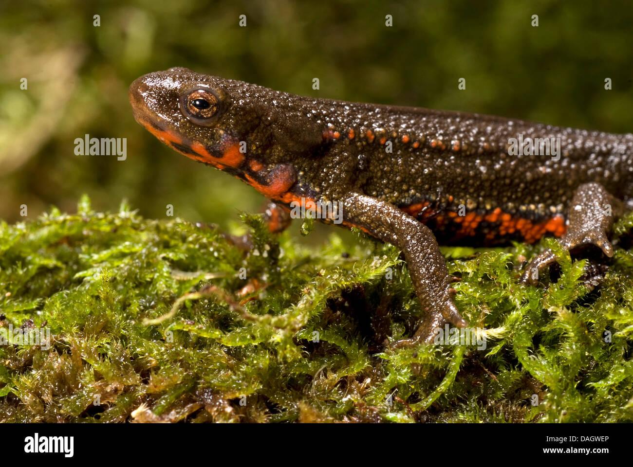 Porte-Épée Épée, newt newt à queue, Sword-Tailed japonais d'Okinawa, Newt Newt (Cynops Photo Stock