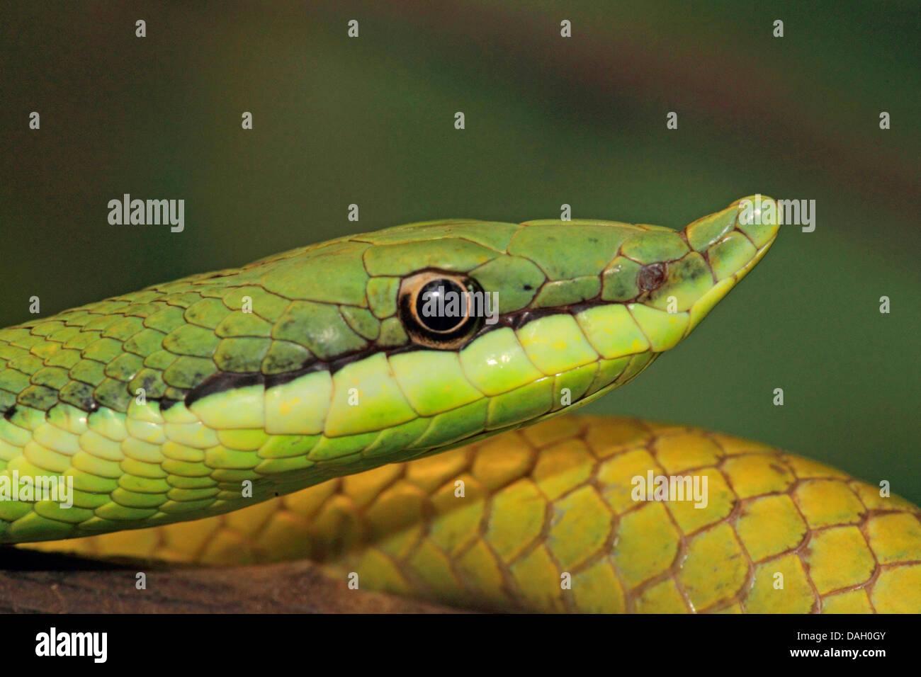 Bec long argentin (serpent Philodryas baroni), portrait Banque D'Images